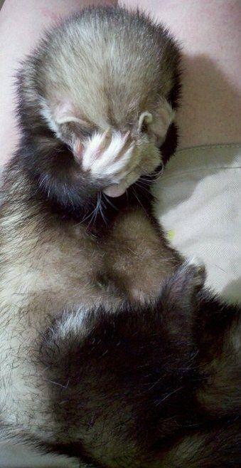 Ellos hacen una media cara de palma. | 19 Reasons Ferrets Make The Most Adorable Pets