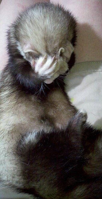 19 Reasons Ferrets Make The Most Adorable Pets