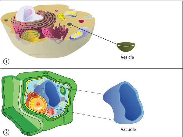 vacuolea space or vesicle within the cytoplasm of a cell
