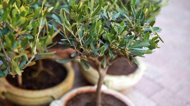 Ob im Kübel oder ausgesetzt - Tipps zur Olivenbaum-Pflege: Wie Sie ihn gießen, düngen, was zu tun ist, wenn er Blätter verliert und welcher Standort ideal ist.