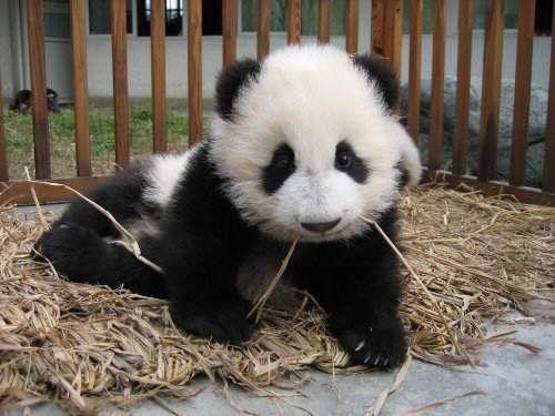 Imagen tierna oso panda bebe  [25-1-16]