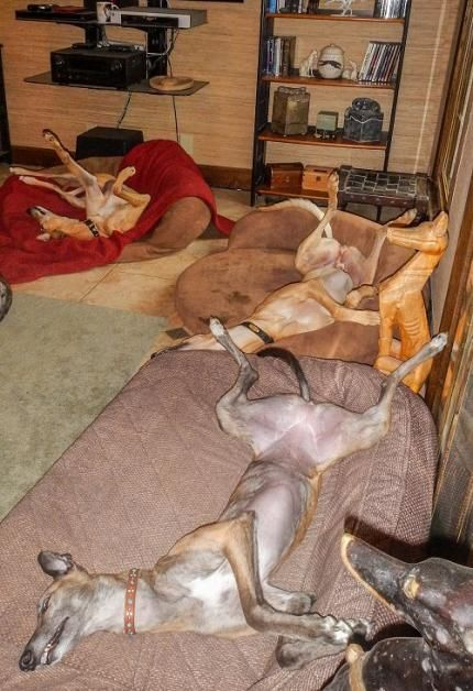 Welcome to Greyhound Adoption ♡... Re-pin by StoneArtUSA.com ~ affordable custom pet memorials for everyone.