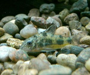 Corydoras paleatus: the peppered catfish from Uruguay - Just Cichlids