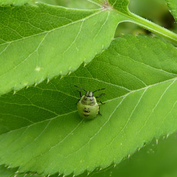 Linda DV posted a photo:  Belgium.  National Botanic Garden.  www.br.fgov.be/PUBLIC/GENERAL/index.php  The green shield bug (Palomena prasina) is a shield bug of the family Pentatomidae. It may also be referred to as a green stink bug, particularly outside of Britain, although the name green stink bug more appropriately belongs to the larger North American stink bug, Acrosternum hilare. The adult green shield bug ranges in the colour of their backs from bright green to bronze, without any…