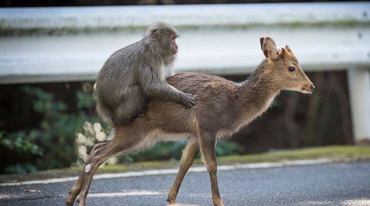 Το πιο αταίριαστο ζευγάρι: Έπιασαν στα πράσα μαϊμού να προσπαθεί να κάνει σεξ με ελάφια