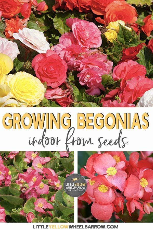 Starting Begonias From Seed Indoors A Complete How To Guide In 2020 Begonia Flower Pots Container Gardening