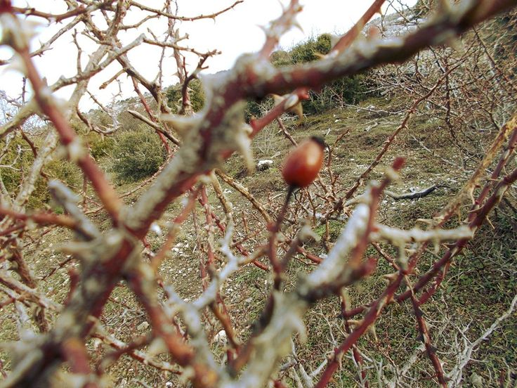 A lonely rosehip, during wintertime. No leaves, just thorns. Soon the bush will gain its leaves, and it the delicious red berries will appear in dozens. 🌸🌺 Perfect if you suffer from a cold, or simply if you feel tired during your hike. VERY rich in vitamin C!    #rewild #rewilding #primitiveskills #Greece #herbalmedicine #rosehip #naturaloils #herbalist #foraging #foragingforfood #herbsasfood #herbs #alternativemedicine #hiking #wintercolors #naturephotography #rosehips #rosehipoil
