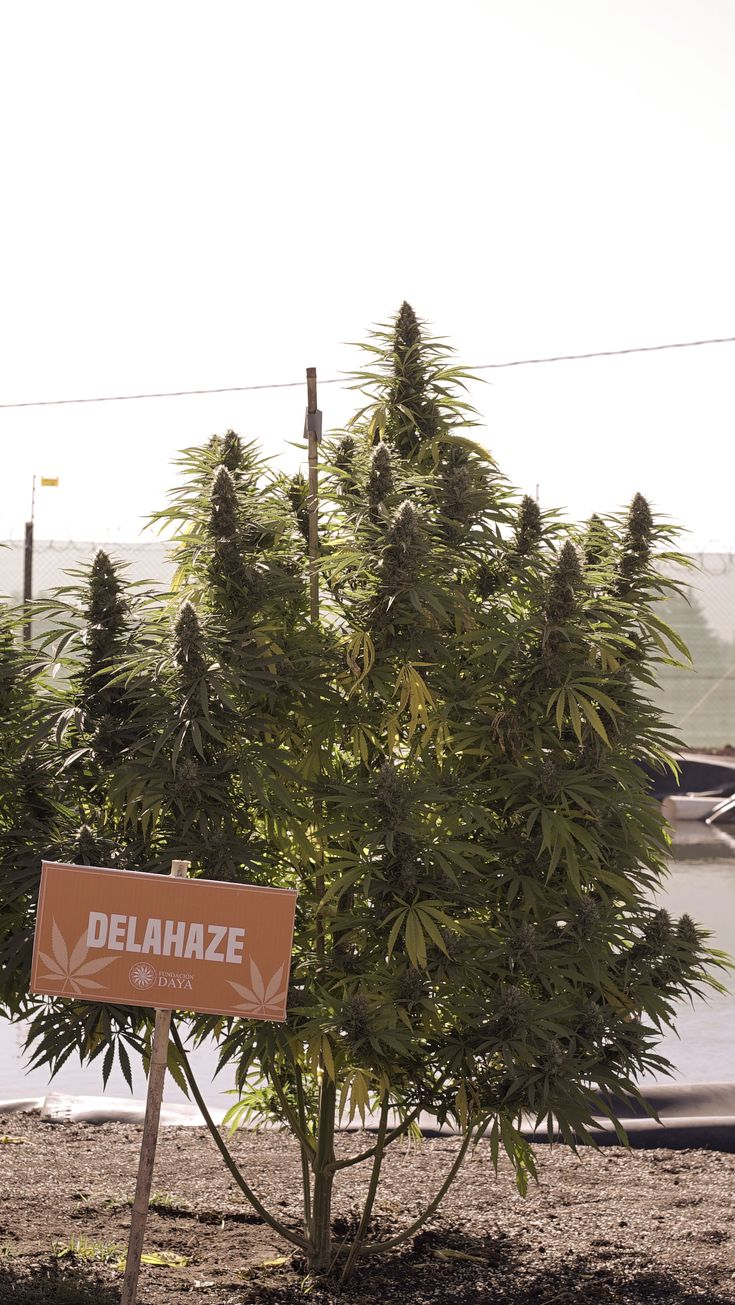 #Delahaze effects announce themselves in creeping fashion, building up to a euphoric (not trippy) and uplifting #high. This buzz will spread to the body, bringing a high that is clean and clear - perfect for the day and energy inspiring for night time.  #FinestSeedCollection