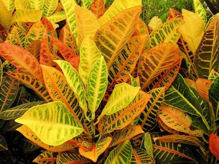 Кротон (Croton variegatum L.)