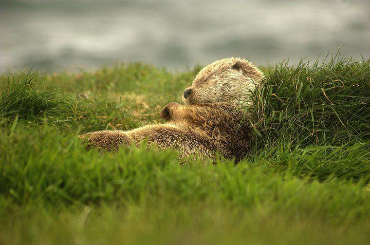 sleeping otter, Shetland Islands