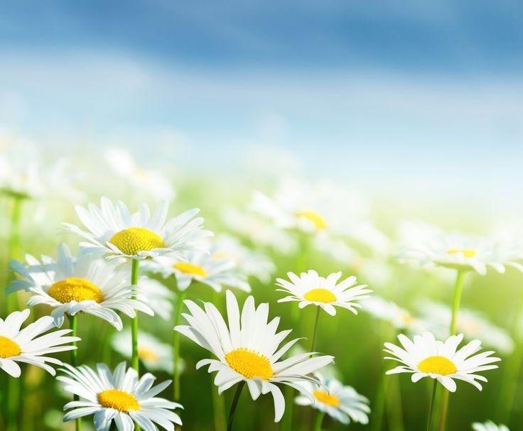 Скачать обои небо, трава, листья, цветы, свежесть, green, ромашки, красота, весна, размытость, white, grass, белые, sky, flowers, зелёные, раздел цветы в разрешении 6000x4952
