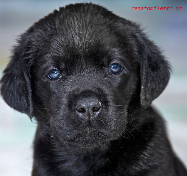 Chocolate Lab Puppies With Blue Eyes | Animals | Pinterest