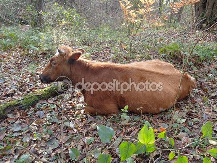 Lying brown cow — Stock Image #99568070