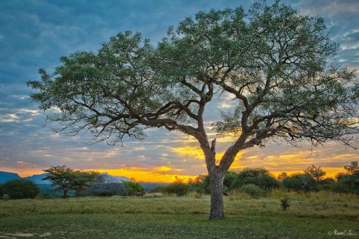 Marula trees are pockmarked. Photo courtesy of Steven Tan - Google Search