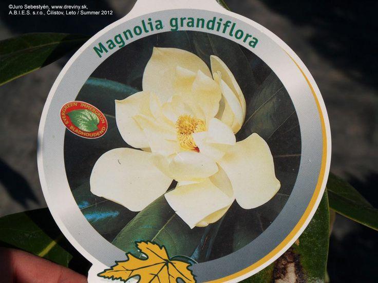 Southern Magnolia, Evergreen Magnolia, Bull Bay | Magnólia veľkokvetá Gallisoniensis | Magnolia grandiflora Gallisoniensis