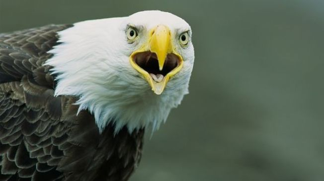 Bald Eagle Appreciation Days are held the third weekend of each January. Endangered No Longer: Our Favorite Pictures of Bald Eagles....http://www.whitewolfpack.com/2015/01/bald-eagle-appreciation-month-20.html