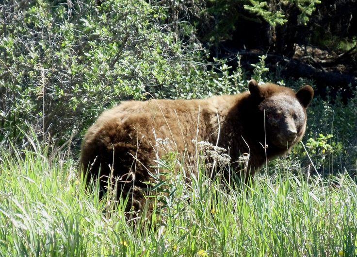 Alaskan brown bear.  This big fellow was an incredible siting, also near Takshunuk Lodge near Haines, Alaska.