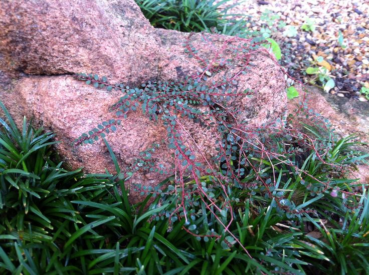 1000 images about gardening weeds on pinterest weed for Landscaping rocks savannah ga