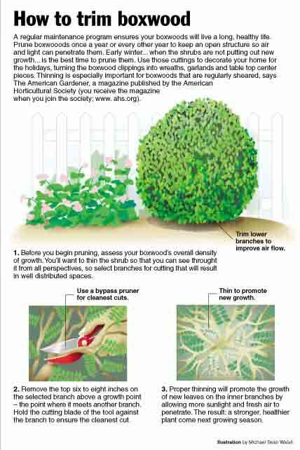 How to trim a boxwood