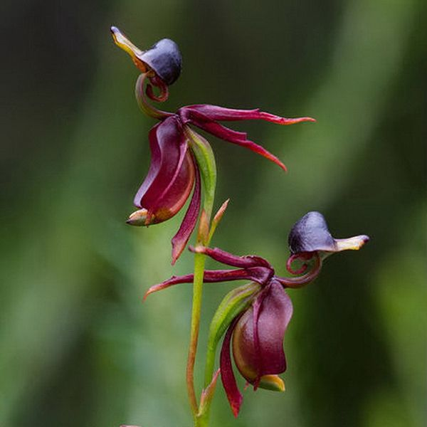 Flying Duck Orchid Seed Beautiful Flower Bonsai Home Office Potted Plants