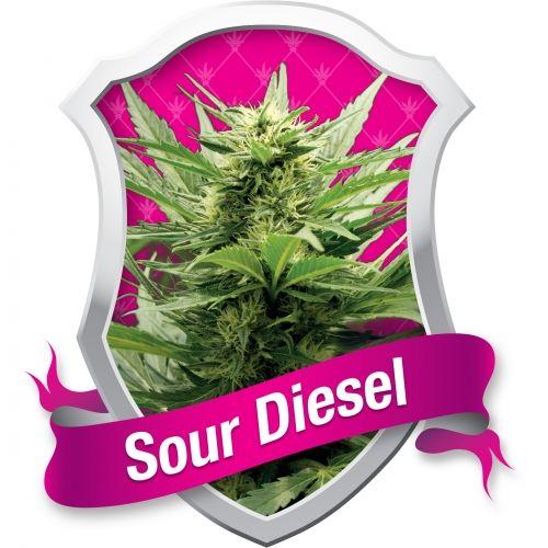 La Sour Diesel, mondialement connue, est maintenant disponible en graines féminisées chez Royal Queen Seeds. Nous sommes heureux d'ajouter cette excellente variété de cannabis à notre sélection. Il s'agit peut-être d'une des variétés les plus célèbres du monde entier, et probablement de l'une des plus fortes aussi.
