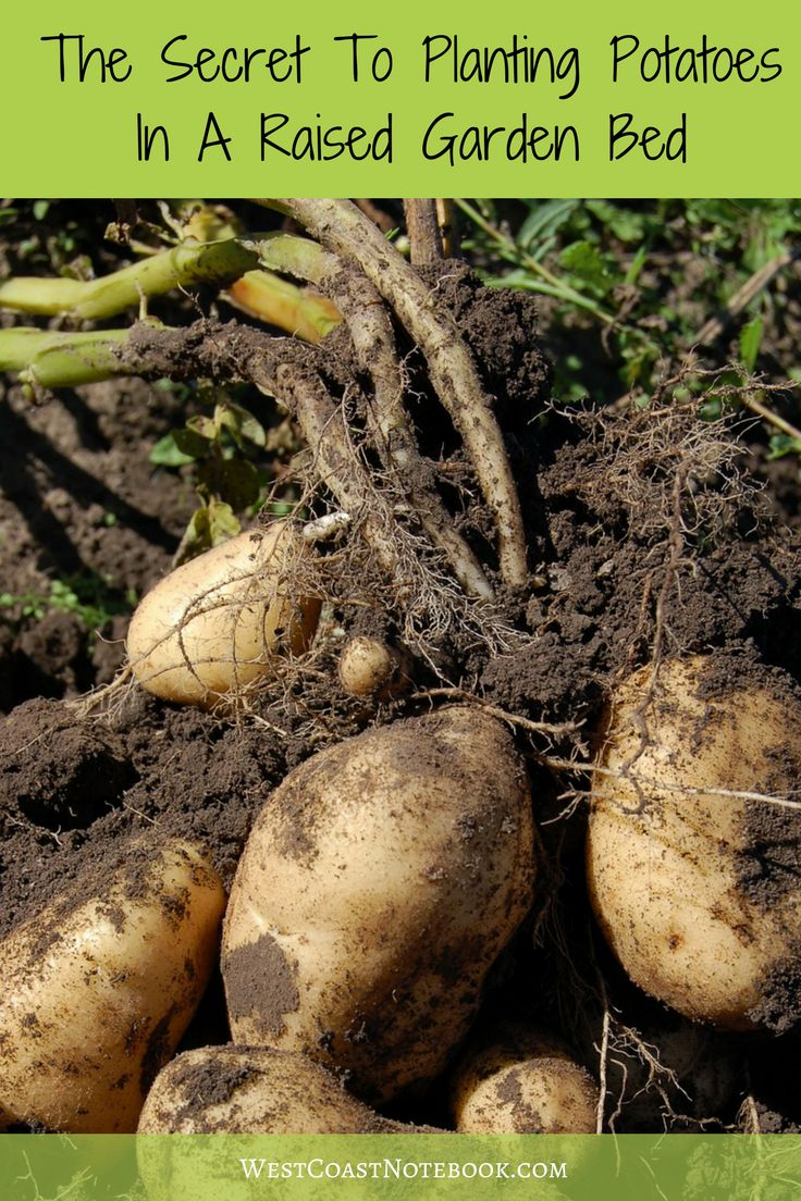 Weeds in flower beds with potato like roots - Ever Wonder The Best Way To Go About Planting Potatoes In A Raised Garden Bed