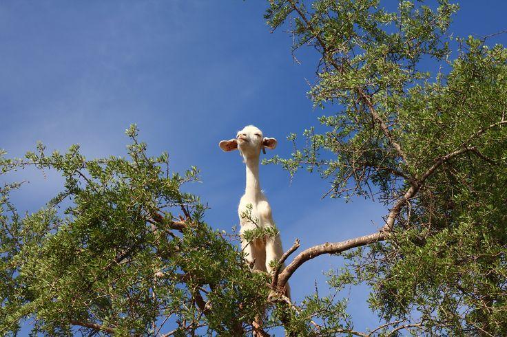 Goat, The Argan Tree, Morocco