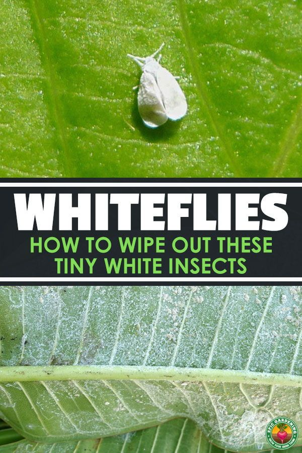 How To Get Rid Of Tiny White Flies On Houseplants