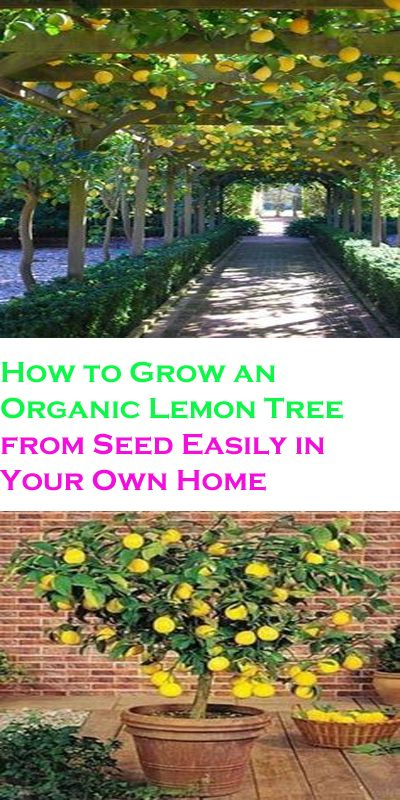 17 best ideas about planting lemon seeds on pinterest for How to plant lemon seeds after germination