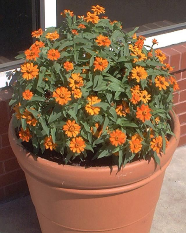 Pictures of Orange Flowers: Picture of Orange Zinnia Flowers