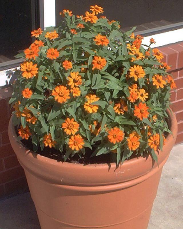 Pictures of Orange Flowers: Picture of Orange Zinnia Flowers