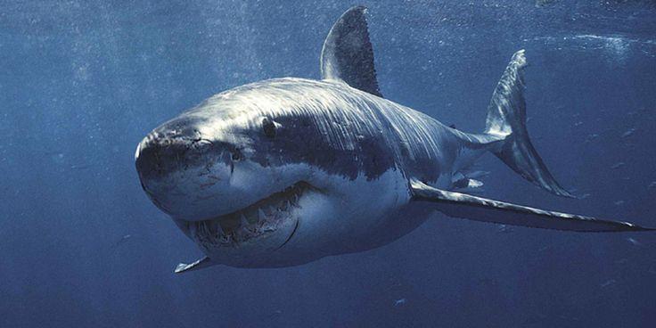 Tubarão-branco O maior peixe predatório do mundo. Famoso por sua técnica de emboscada, já que ataca suas presas por baixo.  Crédito da imagem: Carl Roessler / Digital Vision