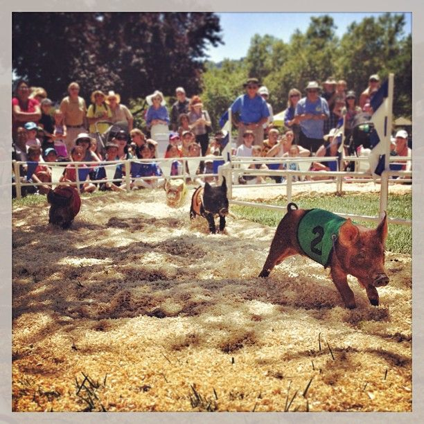 little pigs racing at the Alameda County Fair!  So adorable!!  Photo credit: alfbrand
