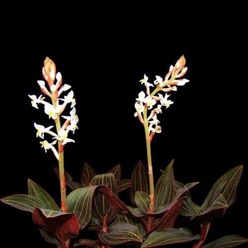 Ludisia Discolor Mücevher Orkide, KARGO BEDAVA, Saksıda - Fidan Satışı, Fide Satışı, internetten Fidan Siparişi, Bodur Aşılı Sertifikalı Meyve Fidanı Süs Bitkileri