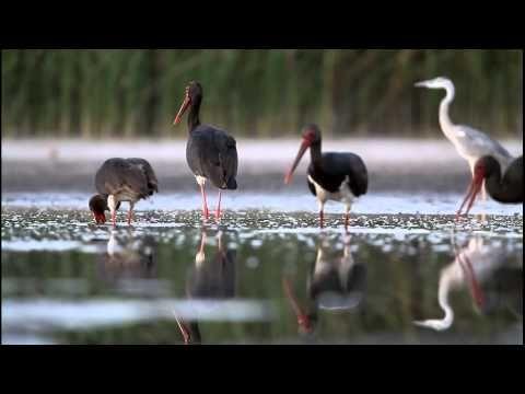 Fekete gólyák - black storks -ciconia nigra Morvai Szilárd