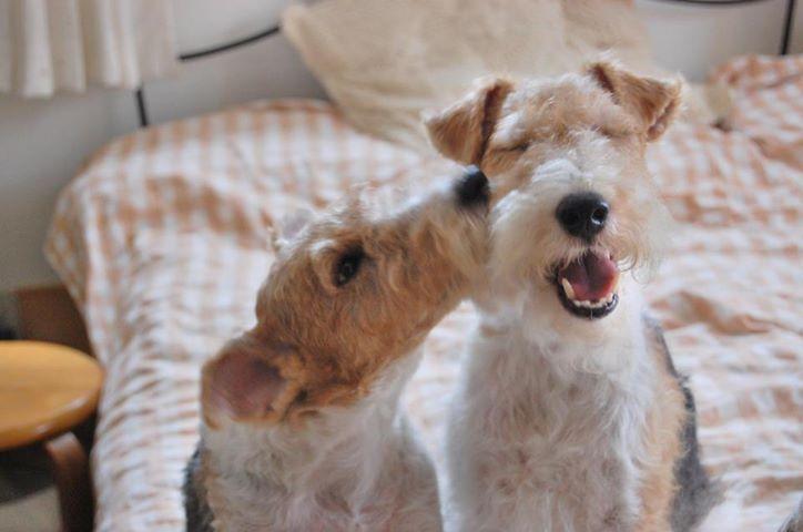Smooch #wire #fox #terriers
