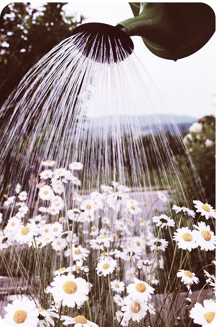 Watering the daisies.