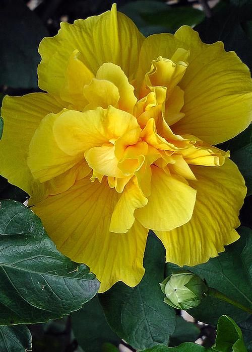 Double Hibiscus - by Harvey Dalley