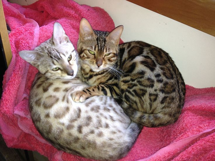 Bengal Cats Nz Bengal Kittens For Sale Auckland Bengal Cat