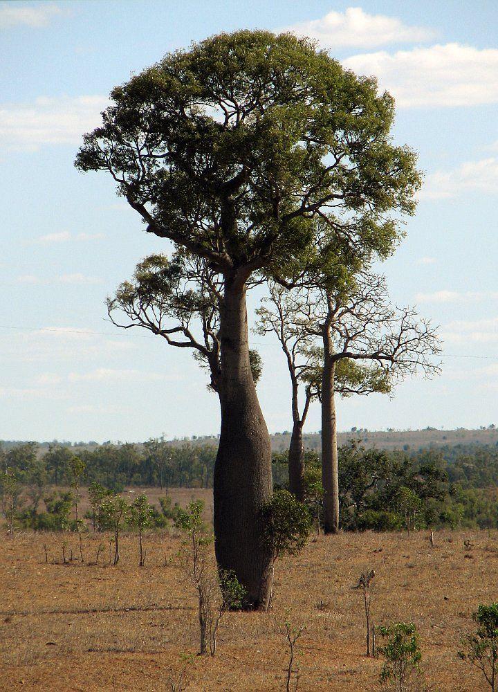 Brachychiton rupestris (Bottle Tree)