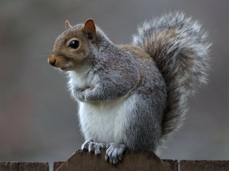 Image result for gray squirrel