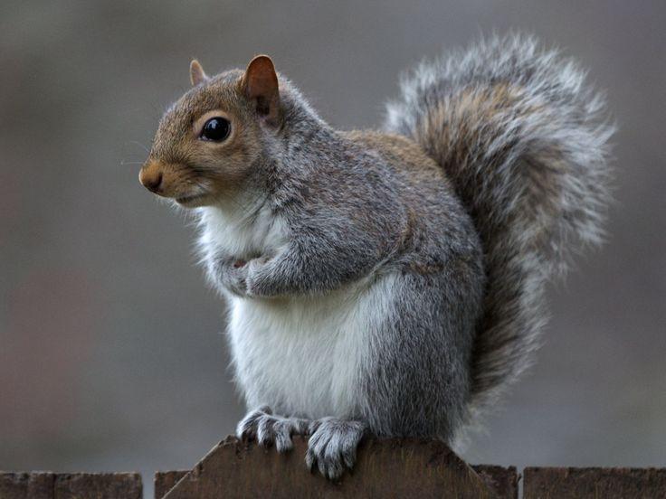 Eastern gray squirrel 35 by ~EasternGraySquirrel on deviantART