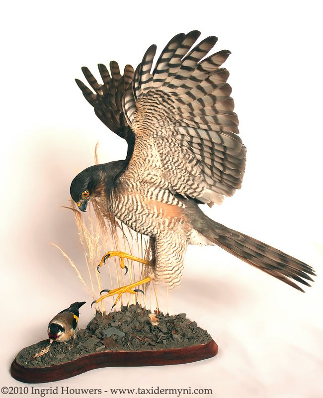 Taxidermy - Sparrowhawk + prey by *Illahie on deviantART