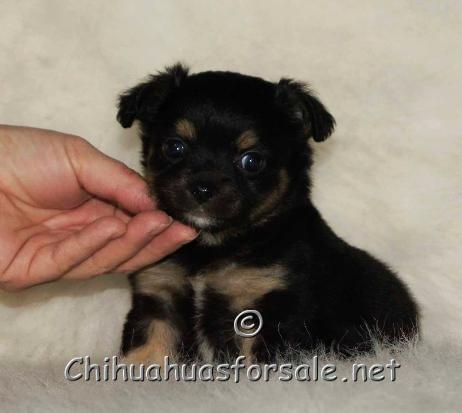Chihuahua Puppies For Sale on Pinterest | Chihuahua puppies for sale ...