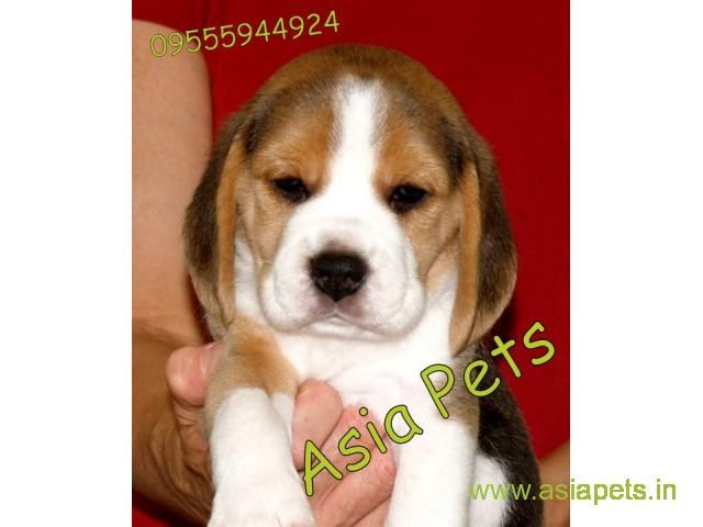 Beagle puppies price in kochi, Beagle puppies for sale in kochi - Petshop
