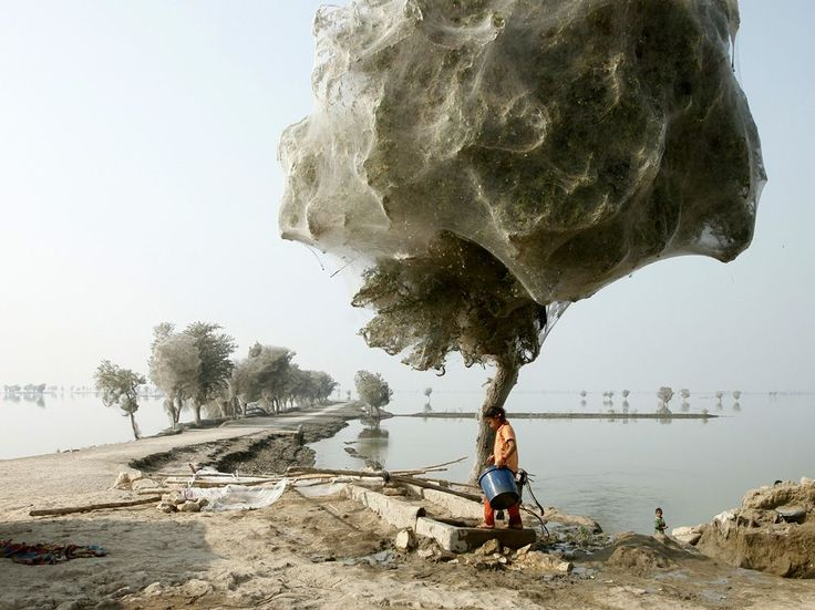 Cocooned Trees, Pakistan  Photograph by Russell Watkins.        An unexpected side effect of the 2010 flooding in parts of Sindh, Pakistan, was that millions of spiders climbed up into the trees to escape the rising flood waters; because of the scale of the flooding and the fact that the water took so long to recede, many trees became cocooned in spiderwebs. People in the area had never seen this phenomenon before, but they also reported that there were fewer mosquitoes than they would