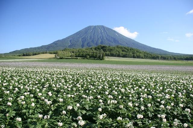 羊蹄山とじゃがいも畑  Mt.Youtei and Potato field. ( NIseko, Hokkaido, Japan.)