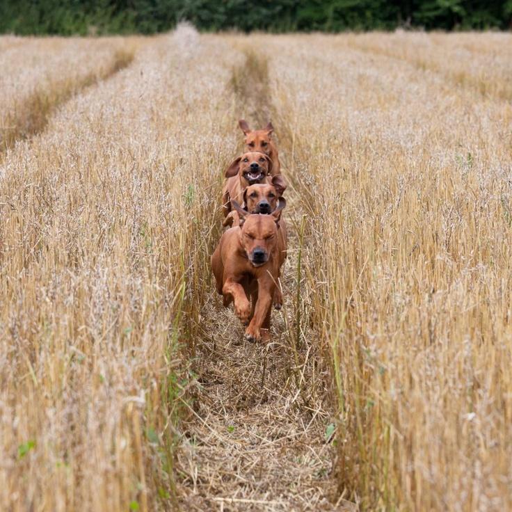 ridgey #puppies