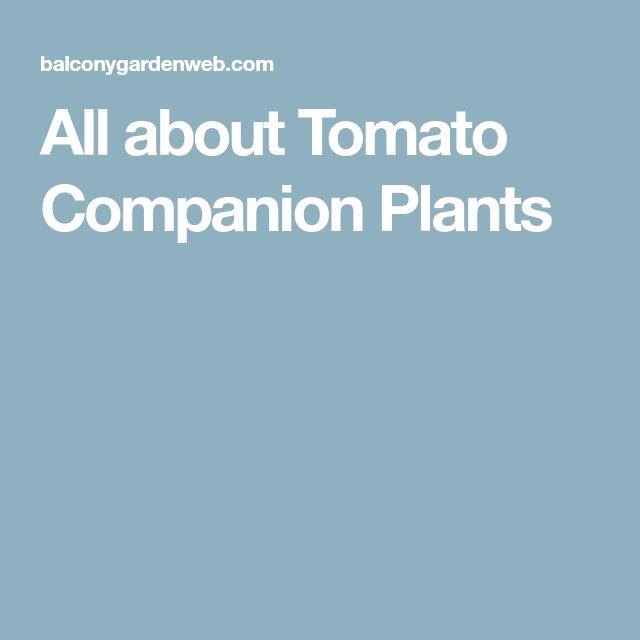 All about Tomato Companion Plants