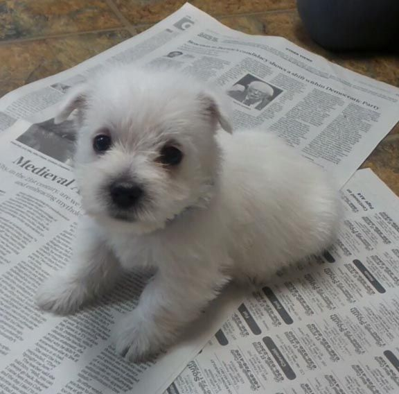Puppies For Sale West Highland White Terrier Westie West Highland White Terriers W West Highland Terrier Puppy Westie Puppies West Highland White Terrier